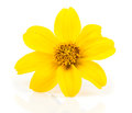 Goldmarie bidens ferulifolia yellow flowers goldilocks Stock Photo