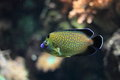 Goldspotted angelfish the golden spotted in water Stock Photo