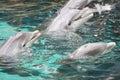 Golfinhos de Bottle-nose Imagem de Stock