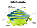 Golgi apparatus or golgi body complex plays an important role in the modification and transport of proteins within the cell Royalty Free Stock Photos