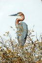 Goliath Heron Royalty Free Stock Photo