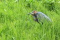 Goliath heron the adult in the grass Stock Photos
