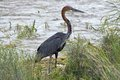 Goliath heron ardea goliath in kruger national park south africa Royalty Free Stock Images