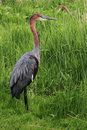 Goliath heron ardea staying in grass near water Royalty Free Stock Photos
