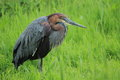 Goliath heron the in the grass Royalty Free Stock Image