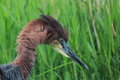 Goliath heron s ardea detail with grass on background Royalty Free Stock Images