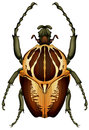 Goliathus regius - Goliath beetle Royalty Free Stock Photo