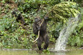 Golilla steppe gorillas are photographed in the park lekedi in gabon Stock Photography
