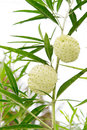 Gomphocarpus physocarpus commonly known as balloonplan or swan in the garden Stock Photo