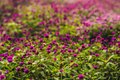 Gomphrena globosa or Fireworks Flower is a beautiful pink small Royalty Free Stock Photo