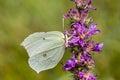 Gonepteryx rhamni, Common Brimstone, Brimstone on Purple loosestrife (Lythrum salicaria), Germany Royalty Free Stock Photo