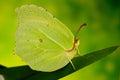 Gonepteryx rhamni Royalty Free Stock Photo