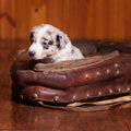 Good and beautiful month old puppy inside old collar Royalty Free Stock Photo