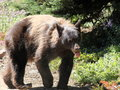 Goofy bear a black acting on mount rainier Royalty Free Stock Images
