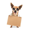 A goofy chihuahua holding a sign blank Stock Images