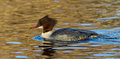 Goosander a mergus merganser on water Stock Images