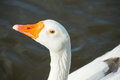 The goose in the afternoon light with beautiful blue eyes Royalty Free Stock Photography