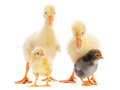 Goose and baby chicken Royalty Free Stock Images