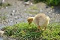 Goose baby isolated small grazing from a small piece of grass Stock Image