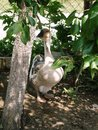 Goose beautiful trying to find some shade Stock Image