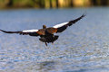 Goose bird low flying water egyptian over dam lake Royalty Free Stock Photos