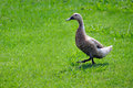 Goose cable bay nz dec one domestic walks in a farm on dec the was domesticated about years ago both in china and egypt Royalty Free Stock Image