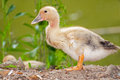 Goose chick portrait of a free Stock Photography