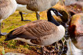 Goose close up of a barnacle gooses Royalty Free Stock Images