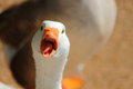 Goose a close up view of a looking at the camera with its mouth open Royalty Free Stock Image