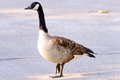 Goose crossing a street Royalty Free Stock Photo