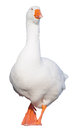 Goose domestic anser on a white background Royalty Free Stock Photography