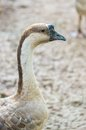 Goose domestic embden Stock Images