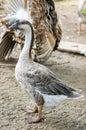 Goose domestic embden Stock Image