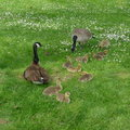 Goose family it s taken in barnet marine park in burnaby bc canada Royalty Free Stock Image