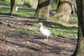 Goose at farm standing in sunny day Royalty Free Stock Image