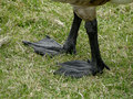 Goose feet big black webbed make the canada an incredible swimmer Royalty Free Stock Photos