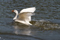 Goose flaps its wings over the water white Royalty Free Stock Photos