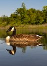Goose floating down the creek Stock Photography