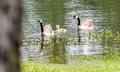 Goose Gander and Gosling Royalty Free Stock Photo