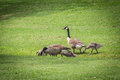 Goose Gander and Goslings Royalty Free Stock Photo