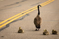 Goose and goslings on the road Royalty Free Stock Photo
