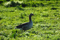 Goose in grass Stock Photography