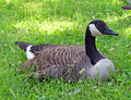 Goose in the grass a canada rests with remains of its last meal on its beak Stock Images