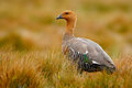 Goose in the grass, Chloephaga hybrida, Kelp goose, is a member of the duck, goose. It can be found in the Southern part of South