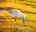 Goose on green grass Royalty Free Stock Photo