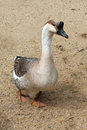 Goose grey in natural environment Royalty Free Stock Photo