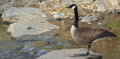 Goose on guard single standing at the waterway standing one leg Stock Image