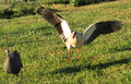 Goose and guineafowl Royalty Free Stock Photo