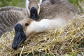 Goose hatch eggs in goose`s nest Royalty Free Stock Photo
