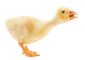 Goose isolated Stock Photo